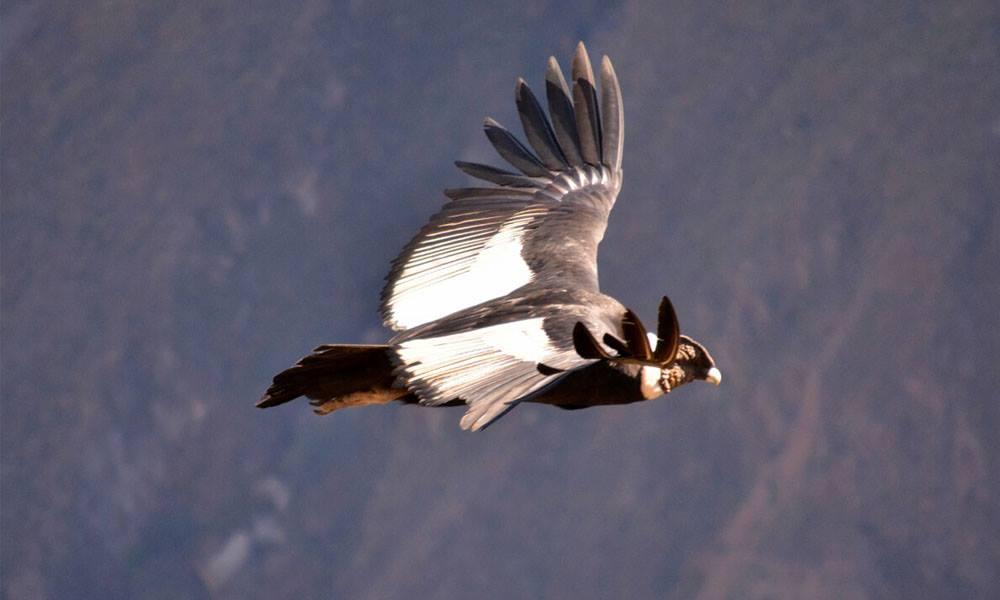 condor canyon chonta